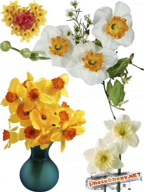 Нарциссы - цветочный фотосток