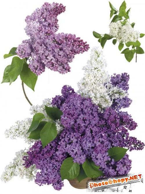 Сирень - цветочный фотосток