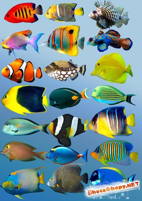 Растровый клипарт  - Тропические рыбки
