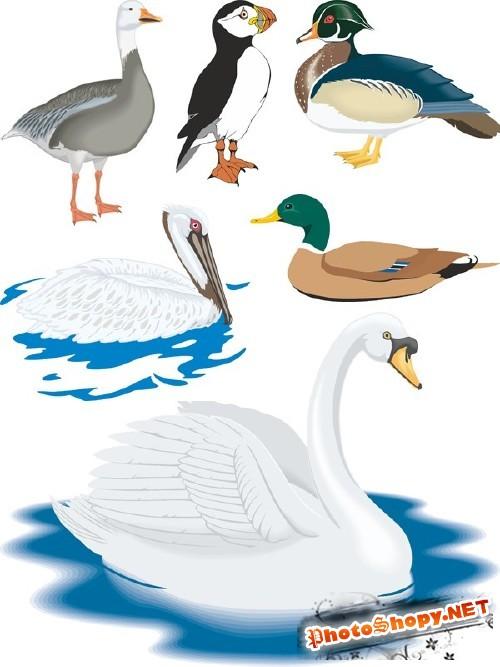 Водоплавающие птицы в векторе